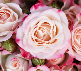 blühende Rosen